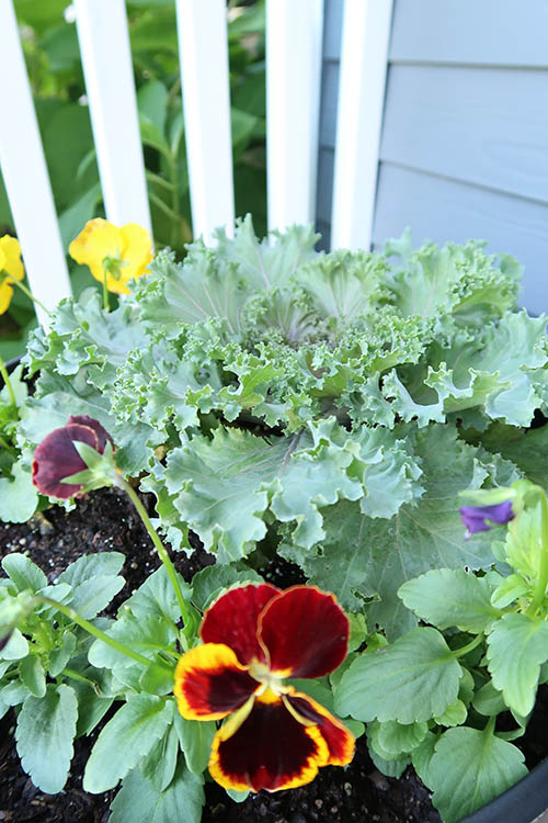 Cabbage and Pansies Mixed in Fall planter