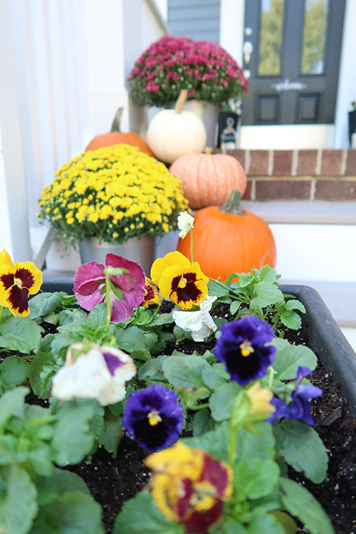 Pansies for a fall color guide