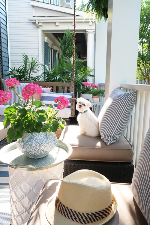maltese-sitting-on-front-porch-blue-and-white-pillows-pink-geraniums_3